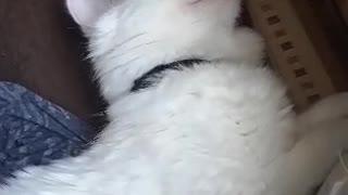 My deaf cat is sleeping