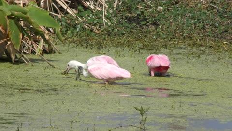 Roseate Spoonbills feeding in the swamp