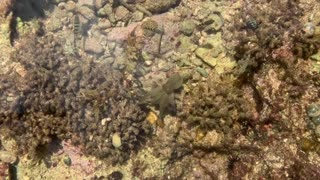 Octopus Shows off with Flashy Display