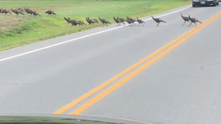 Turkeys Hold Up Traffic