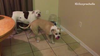 Small brown dog grows at bigger dogs