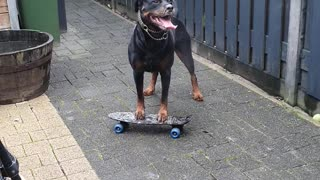 Rottweiler Tries to Figure out Skateboard
