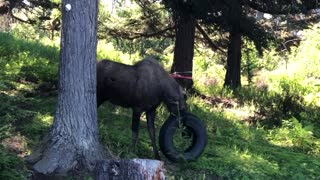 Moose Toys with Tire Swing