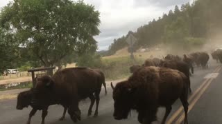 Yellowstone Stampedes And Fights That Stops Traffic
