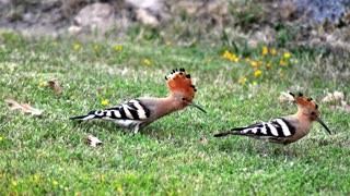 Interesting facts about Hoopoe