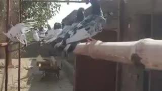 Pakistani high flyer pegion