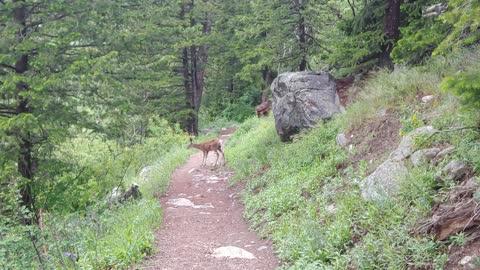 Deer In Grand Teton National Park, Wyoming