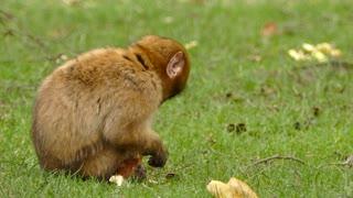 little monkey eating bread video monkey eat monkey monkey