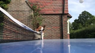 Dog Trying to Referee a Ping Pong Game