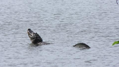 Large American alligator mating call