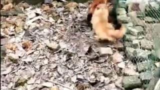 Funny Dog Fights - Chicken Edition