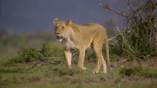 lioness walking-towards-camera