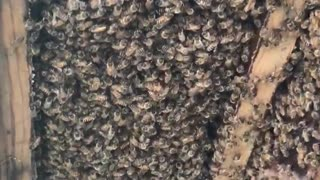 Huge Colony of Honey Bees Discovered in House