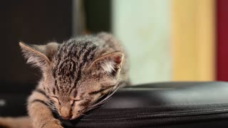 the kitten falls asleep