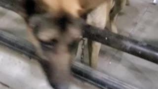 shepherd dog looking for help