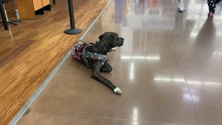 Service Dog: Public Access During Quarantine, Some WEIRD Sounds From a Kid's Toy!