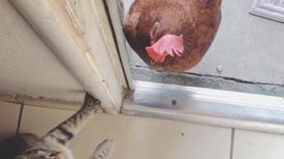 Cunning Kitten Spars with Chicken