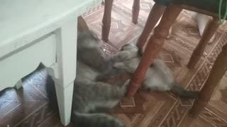 Kitty playing and cat