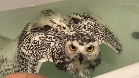 Snowy owl confused