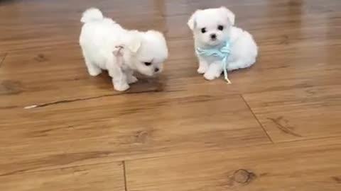 The world's smallest puppys