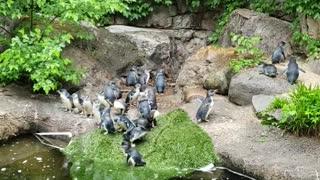 Penguins singing