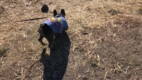 Bruno at the barn.