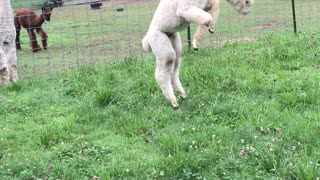 Fluffy Alpaca's Playing Together