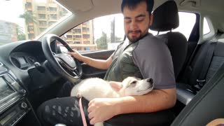 Husky naps on owner's lap during car ride