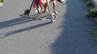 Doggo in Wheelchair Teaches Friend How to Use Wheelchair