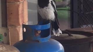 Butcherbird Sings Beautiful Song