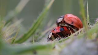 Ladybugs Making Love Close Up