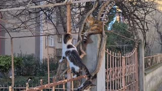 Male cats chasing female cat