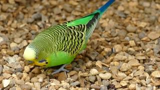 Beautiful budgerigar little parrot