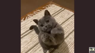 Cute fluffy cat plays with a string