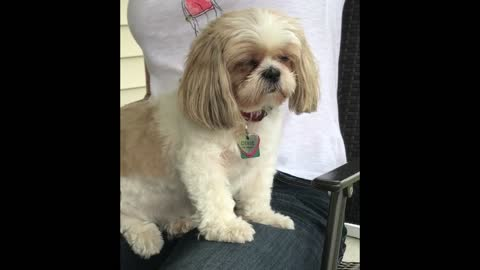 Exhausted Shih Tzu Dozes Off While Sitting Up On Lap