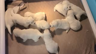 OC Goldens - Puppies are 3 weeks old