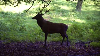 Male Hirsch Antler Plays With Tree Branch
