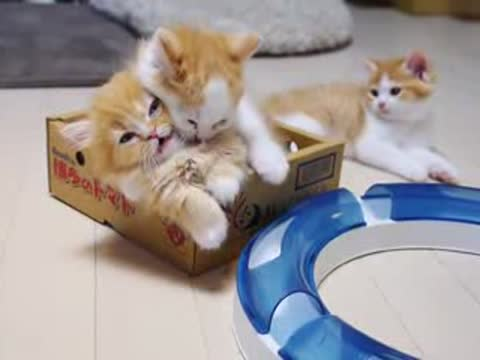 -Adorable Munchkin Kittens in a Box-