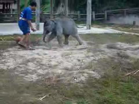 -Baby Elephant Playing Soccer-