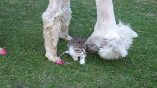 Lacey The Alpaca Loves To Hang Out With Cats